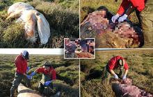 Cá voi sát thủ dạt vào đầm lầy tại Anh lần đầu tiên sau 19 năm: Cả một bụng rỗng tuếch thức ăn nhưng chất đầy rác nhựa