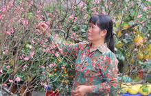 Hàng trăm gốc đào giá chục triệu đổ bộ Sài Gòn dưới trời nắng nóng, người bán sợ ế vì hoa đã nở rộ trước Tết