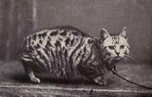 Dù không có đuôi nhưng loài mèo này lại được biết bao người trên cả thế giới săn đón