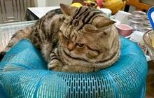Còn nỗi đau nào bằng việc… tăng cân dịp Tết nhất, đã vậy còn không nhận ra điều đó thì kết cục sẽ như chú mèo này!