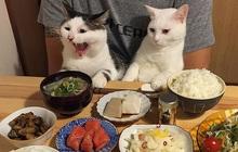 """Hai chú mèo trở thành ngôi sao Instagram nhờ… ngồi nhìn """"con sen"""" ăn cơm: Bày biện đủ món mà boss chả được cơm cháo gì!"""