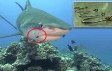 Nỗi đau thầm lặng của đại dương: Khoa học xác định hàng triệu cá mập có lưỡi câu mắc sâu trong da thịt, tác động của loài người đã lớn quá rồi
