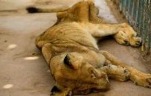 Hình ảnh sư tử đói hốc hác, chỉ còn da bọc xương khiến cộng đồng yêu động vật sục sôi kêu gọi chung tay tìm cách giải cứu
