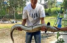 """Nông dân bắt được cá chình """"khủng"""" dài 1,5 mét khi đi thăm ruộng ngày cuối năm"""