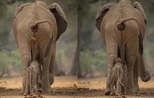 """Oái oăm khoảnh khắc voi con bị voi mẹ """"bĩnh"""" lên đầu nhưng ý nghĩa thực sự sau hành động này lại khiến ta xúc động"""