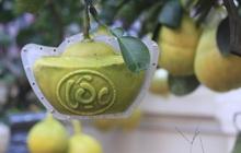 Chùm ảnh: Bưởi, quất bonsai hình đĩnh vàng khắc chữ Tài, Lộc giá tiền triệu xuất hiện tại ở Hà Nội
