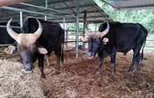 Người chăm đàn bò tót gen quý gầy trơ xương: Chờ được tiền xuống thì bò chết