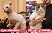 """Nhan sắc dàn """"đại boss"""" trong triển lãm mèo ở Hà Nội: Nét đẹp độc lạ chiếm spotlight hay vẻ cute vô số tội được yêu hơn?"""