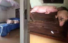 Hình ảnh 2 chú heo nằm ngủ trên giường, xung quanh mênh mông nước vì lũ dâng cao khiến nhiều người xót xa