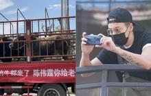 Món quà lạ lùng nhất Cbiz: Fan gửi cả xe tải chở trâu đến tận nơi làm việc để cổ vũ Trần Vỹ Đình