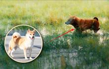 """Cậu Vàng tung first look giới thiệu """"sinh vật lạ"""": Vẫn là chó Nhật nhưng lông đỏ, hàng """"siêu hiếm""""?"""