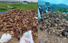 10.000 con gà chết chất thành đống sau lũ, chủ trang trại đau lòng: Mất hết rồi, tôi không dám nhìn vào 2 chuồng gà nhà mình nữa