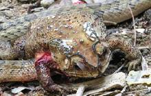 Phát hiện loài rắn có cách săn mồi tàn nhẫn và kinh khủng bậc nhất từ trước đến nay