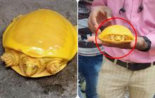 Bí mật gì đằng sau 2 chú rùa có màu vàng đến vô lý đang gây bão mạng xã hội những ngày qua?