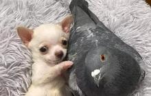 Chó không thể đi và chim bồ câu không thể bay, hai con vật đồng cảnh ngộ cùng nhau chia sẻ tình bạn ấm áp tại trung tâm cứu hộ