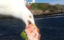 Những bức ảnh chứng minh đám mòng biển chính là những tên cướp đồ ăn táo tợn nhất