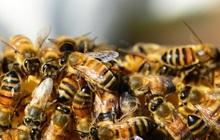 Đến giải cứu người bị một con ong chích, nhóm lính cứu hộ bỗng chuốc họa khi anh em họ hàng nhà ong kéo gần 40.000 con tới tiếp ứng