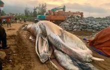 Cận cảnh xác cá voi hơn 10 tấn được người dân đưa vào bờ chôn cất ở Hà Tĩnh