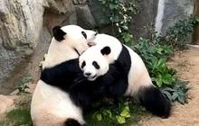 Sau 10 năm ròng rã chờ đợi, cặp gấu trúc ở sở thú Hong Kong cuối cùng cũng chịu giao phối khi nơi này đóng cửa do Covid-19