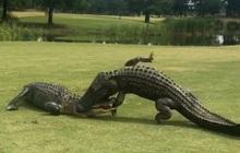 Hai anh cá sấu khổng lồ thản nhiên vật nhau giữa sân golf khiến loài người hết hồn khi chứng kiến cuộc chiến