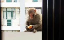 """Lũ khỉ thong thả xâm chiếm trường học và lời cảnh báo """"dở khóc dở cười"""": Đừng cho chúng ăn để tránh bị tấn công, các em đánh không lại đâu!"""