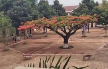 Nhiều trường quây hàng rào, đốn cây xanh trong sân sau hàng loạt vụ phượng vĩ bật gốc