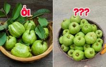 """Tưởng là ổi nhưng hoá ra loại trái cây này đã khiến biết bao người nhầm lẫn, còn được xem là """"cụ tổ"""" của các loại quả chua"""