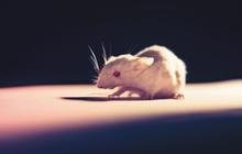 OncoMouse - Con chuột bị cấy gen ung thư một thời làm xáo trộn cả giới nghiên cứu khoa học, khiến ĐH Harvard phải mang tiếng xấu đến tận hôm nay