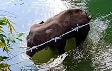 Đã bắt giữ được nghi phạm trong vụ voi mẹ mang thai chết tức tưởi vì ăn phải dứa nhồi pháo nổ