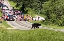 Gấu đen đi bộ hơn 600 km dọc nước Mỹ để tìm bạn tình thu hút sự chú ý của MXH, nhiều người dân ra đứng ven đường cổ vũ như siêu sao