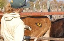 Lạ mà thật: Các nhà khoa học vẽ mắt lên mông bò để bảo vệ chúng khỏi bị sư tử tấn công