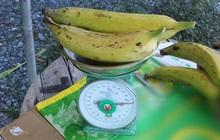 """Ngỡ ngàng trước giống chuối """"siêu to khổng lồ"""" đặc biệt tại Việt Nam, mỗi quả nặng gần 1kg giá chỉ 9.000 đồng/quả"""