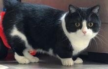 Chân ngắn tũn lại còn to ụ, boss mèo vẫn nổi rần rần trên MXH, đánh cắp trái tim của biết bao sen vì quá dễ thương