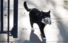 """Mèo Palmerston - """"tổng quản"""" diệt chuột hàng đầu nước Anh đã chính thức về hưu"""