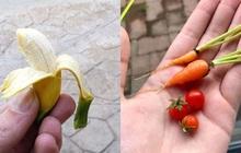 Bỏ công chăm bẵm nhưng lúc thu hoạch quả ngọt không thấy, chỉ thu về mỗi cục tức vì trái nào trái nấy cũng như dành cho người tí hon