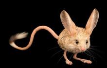 """Gặp gỡ giống chuột kỳ lạ trông như kết quả của """"mối tình sai trái"""" giữa lợn, thỏ và kangaroo"""
