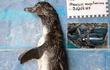 Chim cánh cụt chết thảm vì nuốt phải khẩu trang