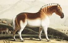"""Đã tuyệt chủng một thế kỷ, liệu loài ngựa vằn """"tàn lụi"""" này có thể thực sự sống lại?"""