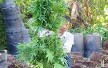 """Trồng 304 cây cần sa trong vườn cam để """"gà ăn trị bệnh"""""""