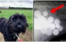 Chó cưng đột ngột ngã quỵ sau khi ra ngoài chơi, chủ vội đưa đi bác sĩ thú y và bủn rủn chân tay khi nhìn kết quả