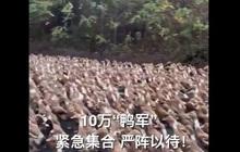 """Trung Quốc cử """"đội quân"""" 10 vạn con vịt đến biên giới để tiêu diệt 400 tỷ con châu chấu"""