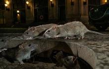 """Mỹ: CDC cảnh báo chuột """"bất thường, hung dữ"""" do thiếu ăn trong dịch Covid-19"""
