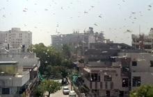 """Ấn Độ oằn mình trước """"bão"""" châu chấu: Loài côn trùng nhỏ bé nhưng sức phá hoại vô cùng khủng khiếp!"""