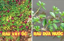 """Những loại rau mọc dại khắp các vùng quê Việt Nam cực hiếm người biết, ngày nay được săn lùng vì """"quý như vàng"""" (Phần 1)"""