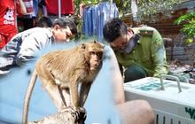 """Thêm nhiều con khỉ """"đại náo"""" khu dân cư Sài Gòn bị bắt, trong đó có cặp đực và cái"""
