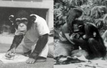 Được nhận nuôi từ thuở lọt lòng, con tinh tinh nghĩ mình là người, hoảng loạn lúc gặp đồng loại và cái kết buồn khi được trả về thế giới hoang dã