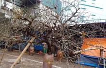 Việc khai thác cây đào, mai ngoài rừng tự nhiên do người trồng quyết định