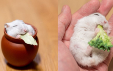 """Chú chuột hamster đáng yêu nhất MXH Việt hôm nay: """"Quốc tịch"""" Nhật Bản, đáng yêu hết phần thiên hạ với những kiểu tạo dáng độc đáo hết nấc"""