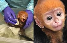 """Bé khỉ Mỹ sinh ra đã bị mẹ bỏ rơi, được nhân viên vườn thú đặt tên tiếng Việt cực đáng yêu khiến trăm nghìn dân mạng """"lịm tim"""""""
