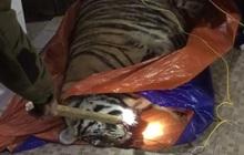 Hà Tĩnh: Hổ nặng 2,5 tạ bị điện giật bất tỉnh trong nhà dân